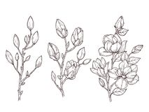 Free Magnolia Sketch. Art Floral Blossom Branch And Flowers Bunch. Drawing Romantic Spring Plants, Nature, Graphic Botanic Stock Photo - 174295800