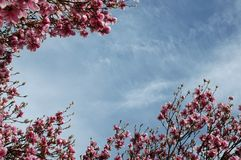 Magnolia Sky. Newly blooming magnolia flowers frame blue sky stock images