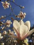 Magnolia sky. Magnolia flower against blue sky Royalty Free Stock Photo