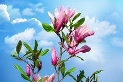 Magnolia and sky. Magnolia flower on branch against blue sky in spring time Stock Photography