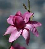 Magnolia sola Fotografie Stock
