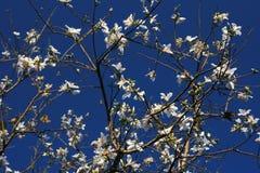 Magnolia sopra il cielo Fotografia Stock Libera da Diritti