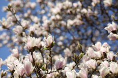 Magnolia soulangeana Stock Photos