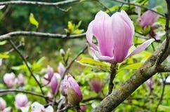 Magnolia Soulangeana en invierno Imágenes de archivo libres de regalías