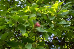 Magnolia soulangeana, magic orange autumn seeds stock photography