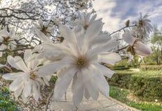 Magnolia  soulangeana (saucer magnolia) tree Royalty Free Stock Photo