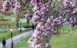 Magnolia  soulangeana (saucer magnolia) tree Stock Image