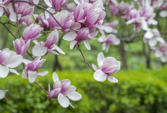 Magnolia  soulangeana (saucer magnolia) tree. Magnolia � soulangeana (saucer magnolia) is a hybrid plant in the genus Magnolia and family Magnoliaceae Royalty Free Stock Photography