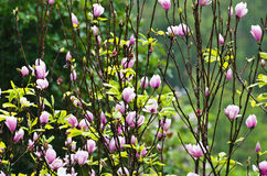 Magnolia Soulangeana in winter. Magnolia Soulangeana. Pink flowers blooming in the rain. winter Thailand Stock Photography