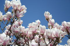 Magnolia Soulangiana. Pink and white  Magnolia flowers in blossom with blue sky as background - beautiful Stock Image