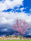 The magnolia in spring. The spring with the beautiful blooming magnolia tree with the background of the medieval town of Bibbiena, Tuscany (Italy Royalty Free Stock Image