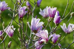 Magnolia Spring Blossom royalty free stock images