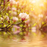 Magnolia spring flowers Stock Images