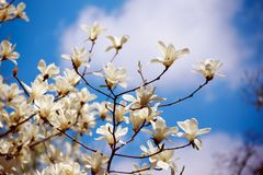 Magnolia spring flowers Royalty Free Stock Photos