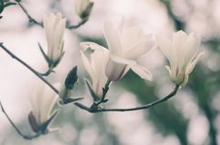 Magnolia spring flowers Royalty Free Stock Photography