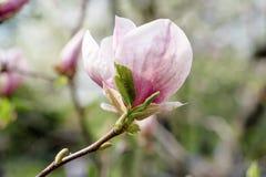 Magnolia spring flowers royalty free stock photo