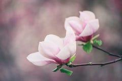 Magnolia spring flowers royalty free stock image