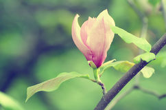 Magnolia spring flowers Royalty Free Stock Image