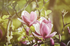 Magnolia spring flowers stock image