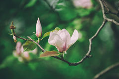 Magnolia spring flowers Stock Photography