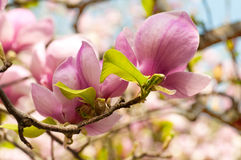 Magnolia in a spring garden Royalty Free Stock Photo