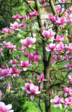 Magnolia spring trees in bloom Stock Photo