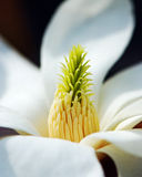Magnolia stamens Royalty Free Stock Images