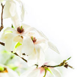 Magnolia stellata blossoming Royalty Free Stock Image