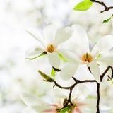 Magnolia stellata blossoming Stock Image