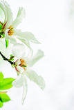 Magnolia stellata blossoming. Asian type of magnolia, magnolia stellata or called star magnolia wildly blossoming during spring time in Europe Stock Images