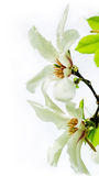 Magnolia stellata blossoming. Asian type of magnolia, magnolia stellata or called star magnolia wildly blossoming during spring time in Europe Royalty Free Stock Photography