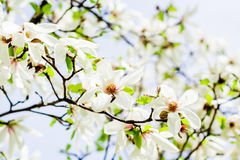 Magnolia stellata blossoming. Asian type of magnolia, magnolia stellata or called star magnolia wildly blossoming during spring time in Europe Stock Image