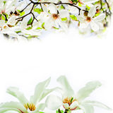 Magnolia stellata blossoming face to face Royalty Free Stock Photos