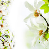 Magnolia stellata blossoming face to face. Asian type of magnolia, magnolia stellata or called star magnolia wildly blossoming during spring time in Europe on stock photo