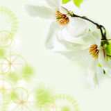Magnolia stellata blossoming on light green background. Asian type of magnolia, magnolia stellata or called star magnolia wildly blossoming during spring time in Royalty Free Stock Photography