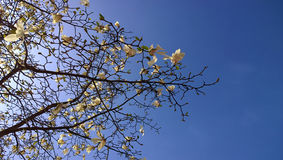 Magnolia stellata branches against blue sky Royalty Free Stock Photography