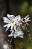 Magnolia stellata. Close view of the flower of Magnolia stellata Stock Image