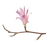 Magnolia stellata. Flower branch and buds isolated against white Royalty Free Stock Photos