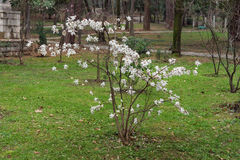Magnolia stellata in  Large Town Park of Tivat city, Montenegro Stock Image