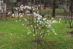 Magnolia stellata in  Large Town Park of Tivat city, Montenegro. A small Magnolia stellata growing in  Large Town Park of Tivat city. Montenegro Stock Image