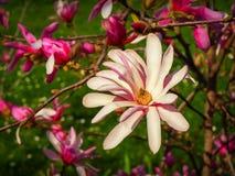 Magnolia Stellata Rosea. In bloom Stock Photography