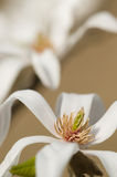 Magnolia stellata, star magnolia flowers Royalty Free Stock Photography