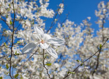 Magnolia stellata  on sunny day. Selective focus Stock Images