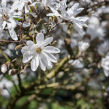 Magnolia stellata. Tree in bloom in an early spring Royalty Free Stock Images