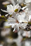 Magnolia stellata Royalty Free Stock Photos