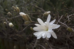 Magnolia stellata, white Stock Images