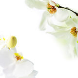 Magnolia stellata and white orchid blossoming on white background. Asian type of magnolia, magnolia stellata or called star magnolia wildly blossoming during royalty free stock photography