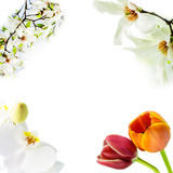 Magnolia stellata, white orchid and two tulips blossoming on white background. Asian type of magnolia, magnolia stellata or called star magnolia, white orchid Royalty Free Stock Image