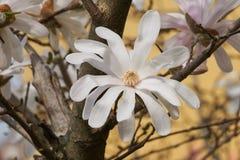 Magnolia stellata white waterlily in the garden. White Magnolia stellata  waterlily in the garden Stock Photos
