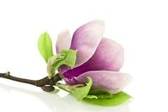 Magnolia su fondo bianco Immagine Stock Libera da Diritti